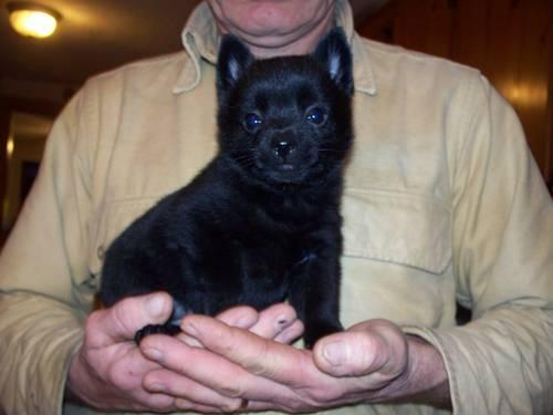 Pets And Animals For Sale In Prattsburgh New York Puppy And