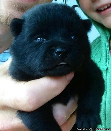 Pets And Animals For Sale In Libby Montana Puppy And Kitten