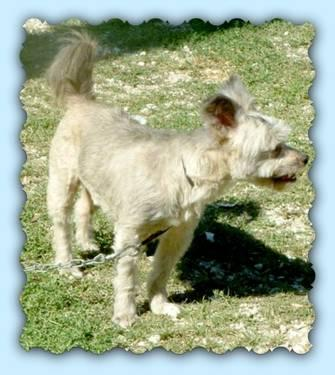 Schnauzer - Brutus/adoption Pending - Small - Adult -