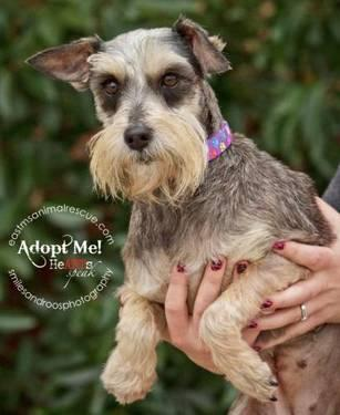 Schnauzer - Durango - Small - Adult - Male - Dog