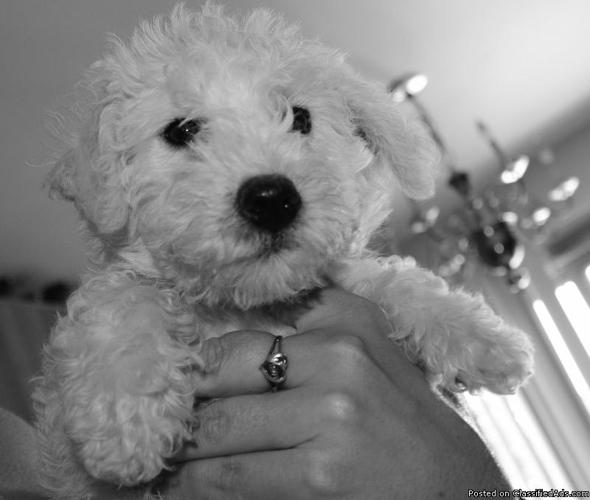 Schnoodle Puppies For Sale In Glenbeulah Wisconsin