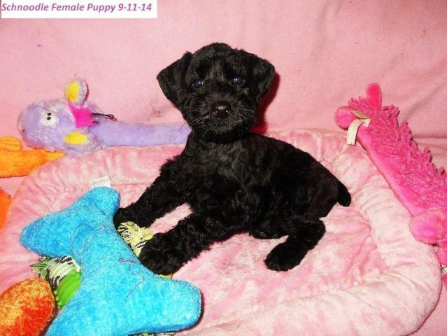 Schnoodle Puppies In Michigan-Males & Females