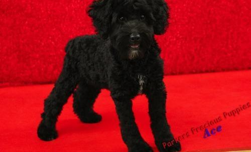 Schnoodle Puppy For Sale Adoption Rescue For Sale In Hickory