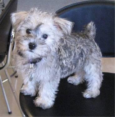 Schnoodle Puppies on Schnoodle Puppies For Sale In Greer  South Carolina Classified