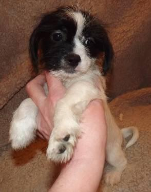 shih tzu dachshund schweenie pups dachshund x shih tzu ready now so cute 4496