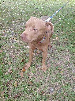 Scooby American Staffordshire Terrier Puppy Male