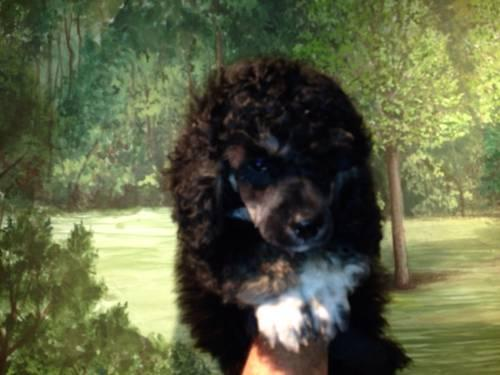 Scoodles Scottish Terrier X Toy Poodle Cross For Sale In