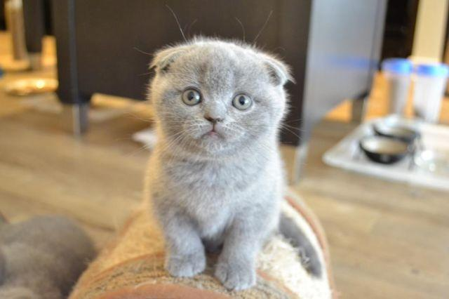 Blue Kittens For Sale : Scottish fold and british shorthair adorable blue kittens for sale