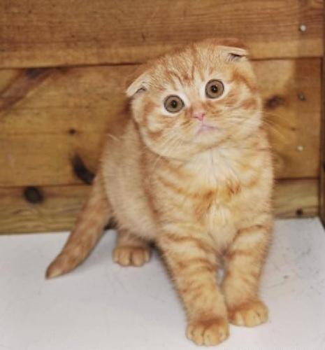 Scottish fold kittens for sale nj