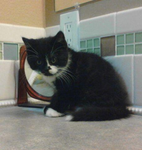 Scottish Fold Kitten-Male CFA REG.