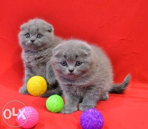 Scottish fold kittens for sale in florida
