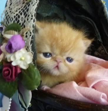 Scottish fold kittens for sale nj