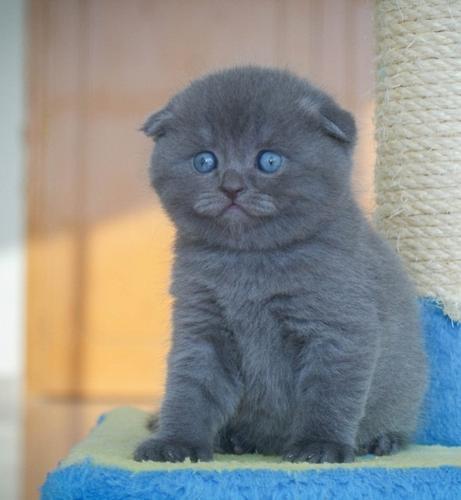 Scottish Fold Kittens For Sale Asap
