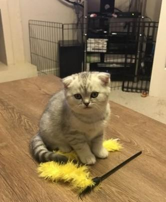 Scottish Fold kittens in various colors ready now