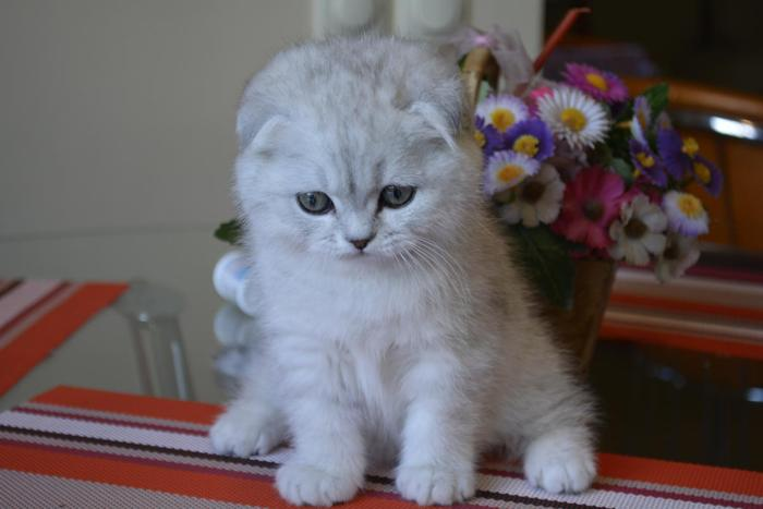 Scottish Fold Silver Chinchilla Female Is Available In Los Angeles