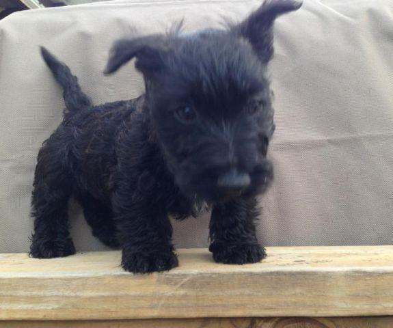 scottish terrier puppies florida scottish terrier for sale in panama city florida 4066