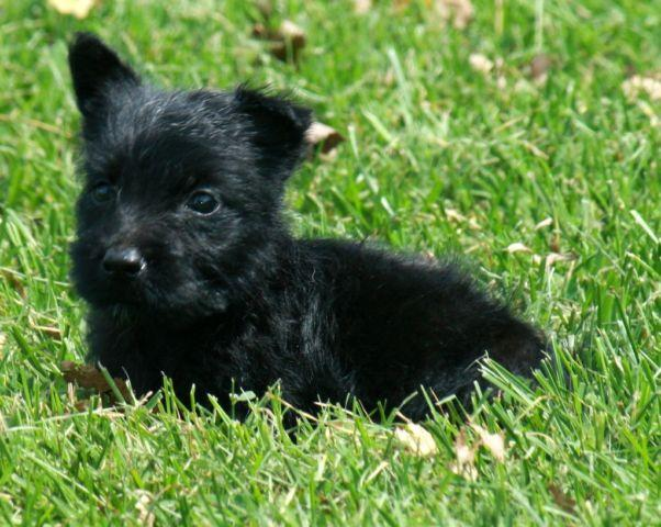 baby scottish terrier scottish terrier male black baby for sale in park city 357