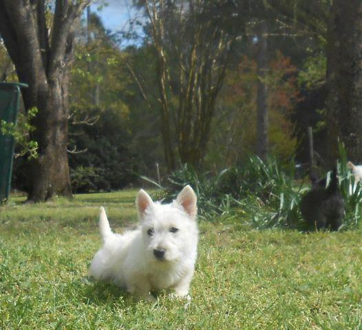 scottish terrier puppies florida scottish terrier puppies for sale in panama city florida 8739
