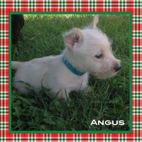 scottish terrier puppies florida scottish terrier puppies for sale in pensacola florida 1692