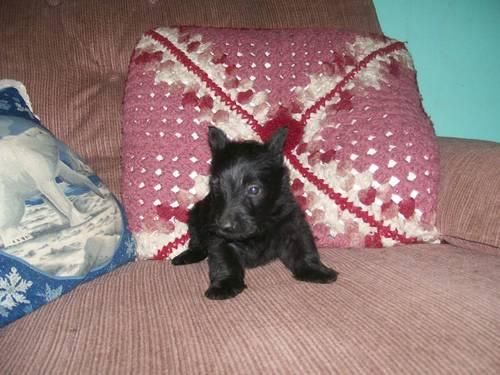 Scottish Terrier Pups For Sale In Fabyan Connecticut Classified
