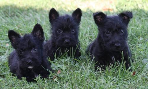 Scottish Terrier Scottie Toto Small Adult Male Dog For