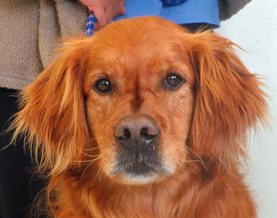 Available adult golden retrievers wisconsin