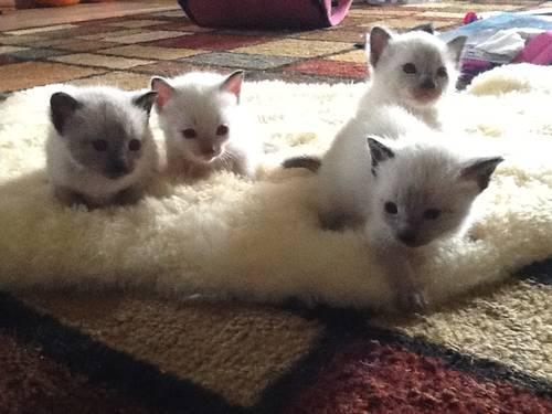Seal Point and Lynx Point Siamese Kittens for Sale in ...