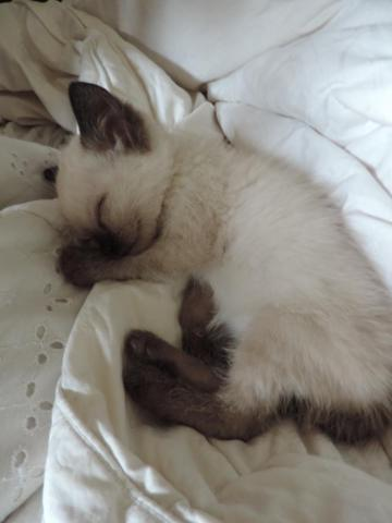 Seal Point Siamese For Sale In Portland Oregon Classified