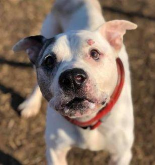 Sean American Pit Bull Terrier Adult Male