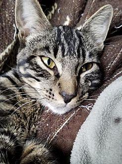 Sebastian Domestic Shorthair Young Male