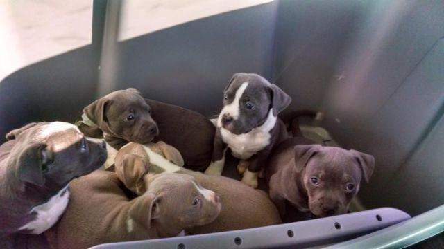 pitbull puppies for sale in Iowa Classifieds & Buy and Sell in Iowa - Americanlisted