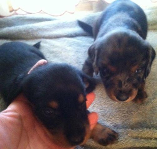 Semi Long Haired Mini Dachshund Puppies For Sale In Tulsa Oklahoma