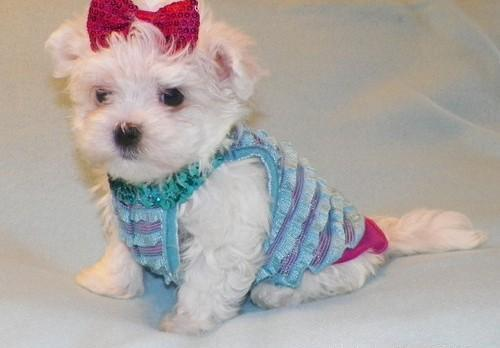 teacup puppies for sale in Pennsylvania Classifieds & Buy and Sell in Pennsylvania - Americanlisted