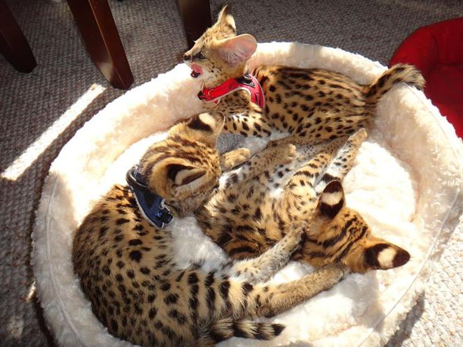 Cats For Sale In Syracuse Ny