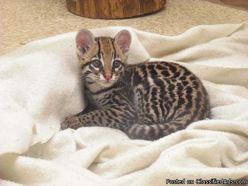 pallas cat domestic hybrid