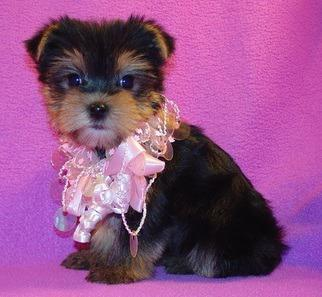 sfggf Healthy Yorkie Puppies