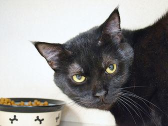 SHADOW Domestic Shorthair Adult Male