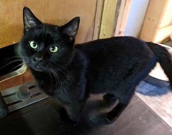 Shadow Domestic Shorthair Young Male