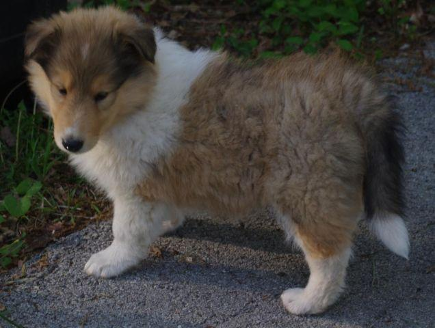 Shady Oak Collies - AKC Rough Collies Puppies