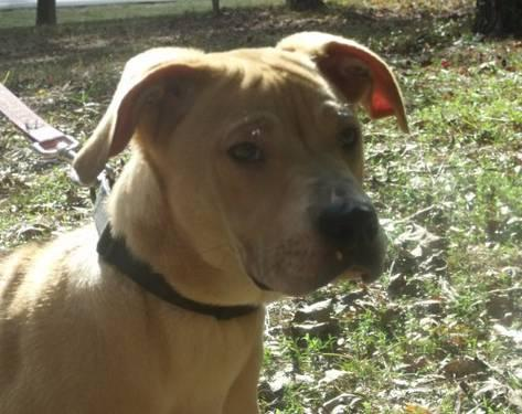 Shar Pei - *louie *courtesy Listing* - Medium - Young -