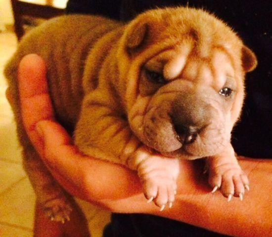Shar Pei Puppies For In Tucson Arizona Clified