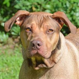 Shar Pei - Savannah - Large - Adult - Female - Dog
