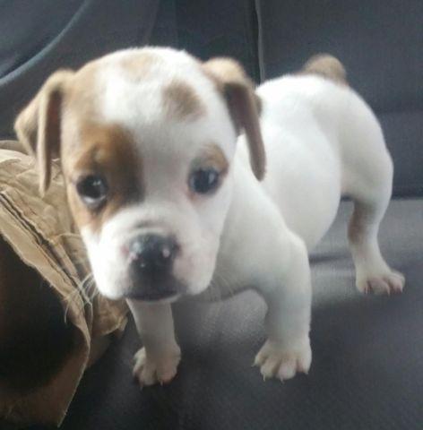 Sharpeibeagle Mini Walrus Old English Bulldog Puppy For Sale In