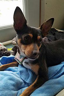 Shayla Manchester Terrier Adult Female