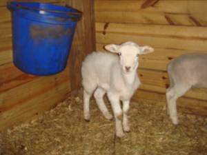 sheep - $100 (sarasota)
