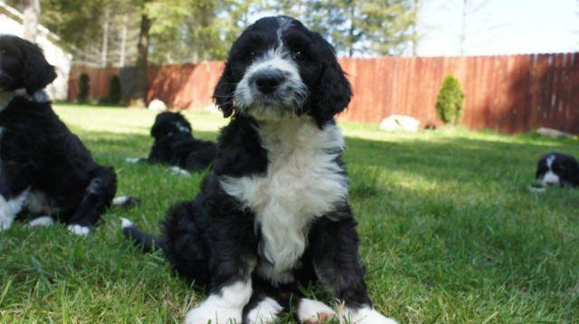 Sheepadoodle Old English Sheepdogpoodle Puppy For Sale In