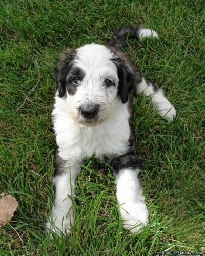 Sheepadoodle Puppies For Sale In Longmont, Colorado