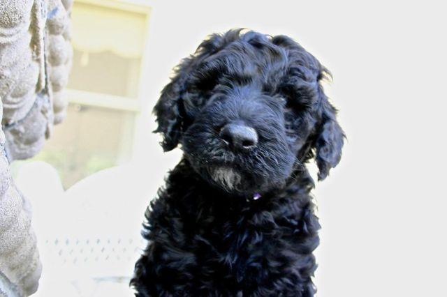 Sheepadoodle Puppies For Sale In Agate Bay California Classified