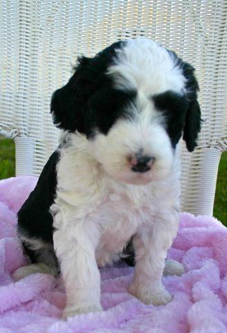 Sheepadoodle Puppies For Sale In Yuba City California Classified