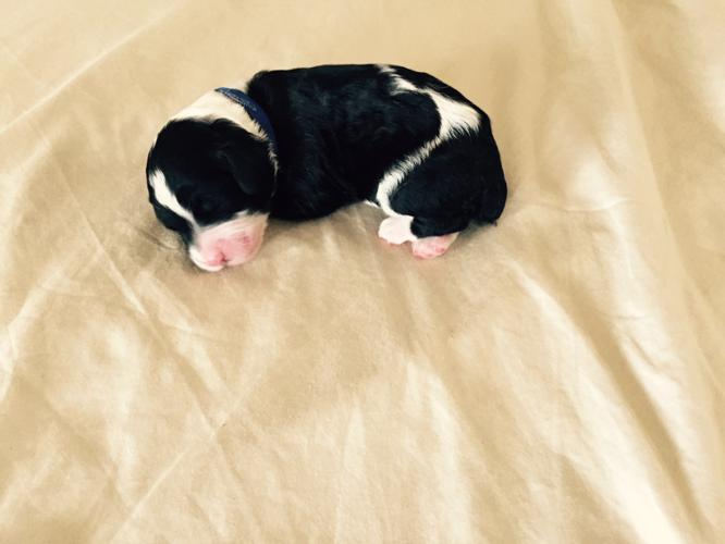 Sheepadoodle Puppies - gorgeous